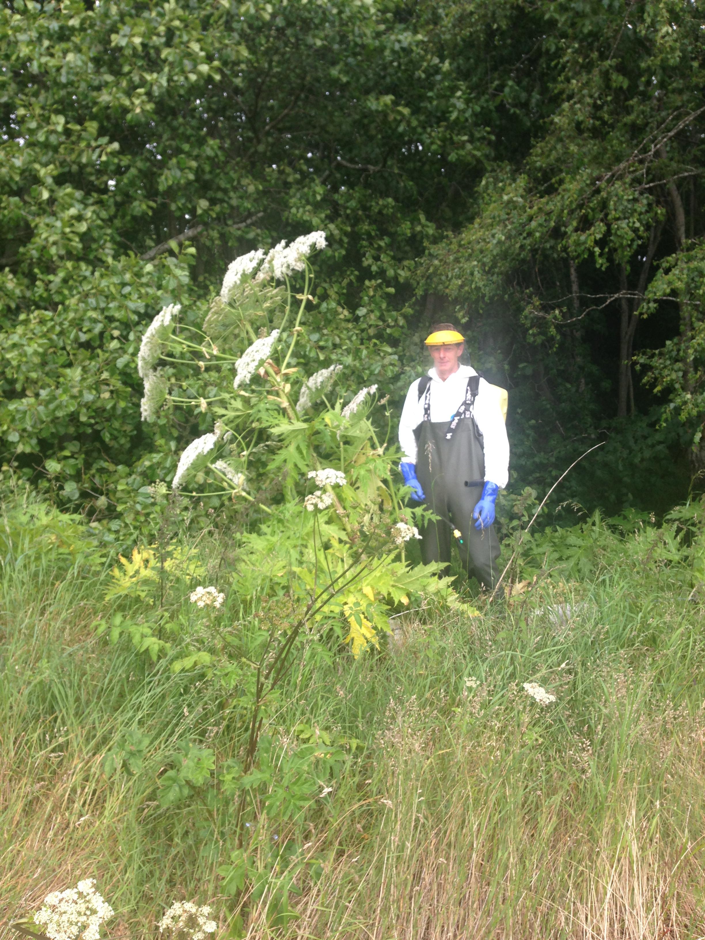 Giant hogweed in full flower